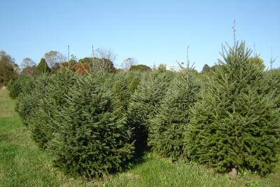 Christmas Trees at Old Stone Farm